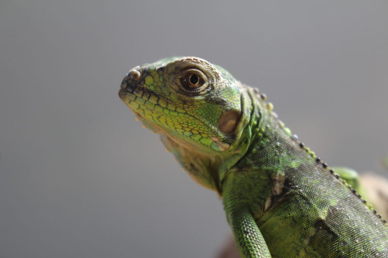 Iguana iguana サバブラックイグアナ