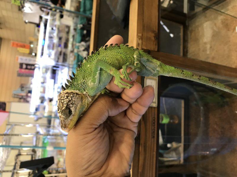 polychrus peruvianu カメレオンイグアナ